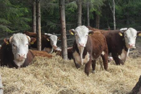 Ekologisk djurhållning på Boda Gård
